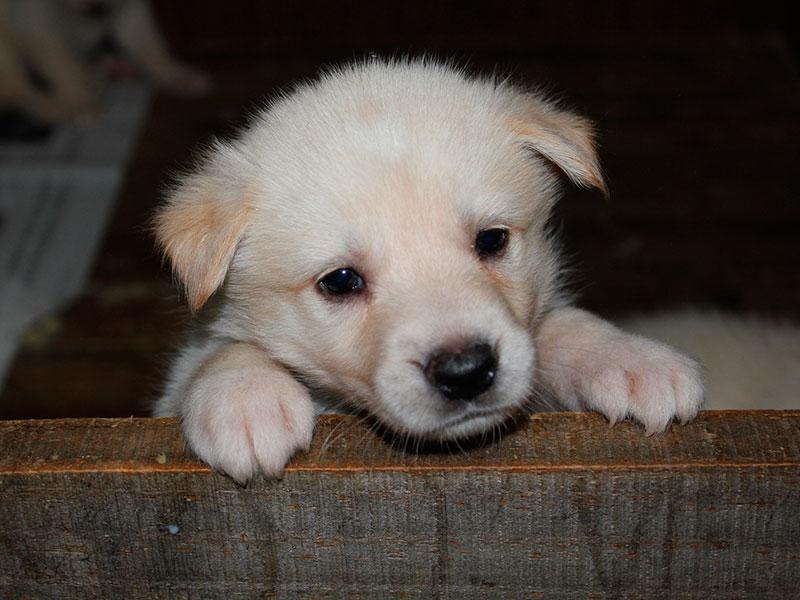 Cachorro de Can de Palleiro
